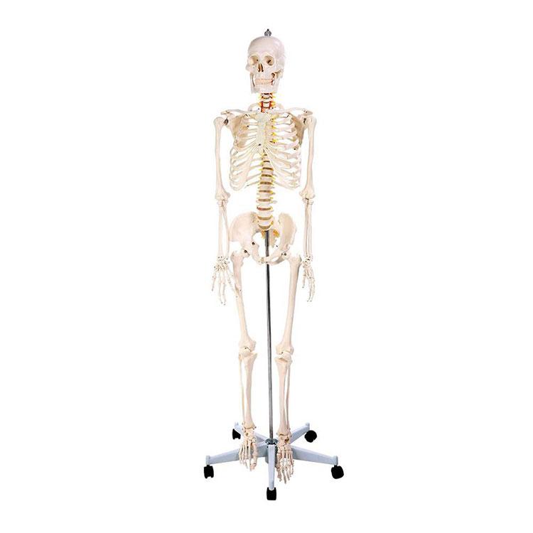 Модел људског скелета од 170 цм Анатомија