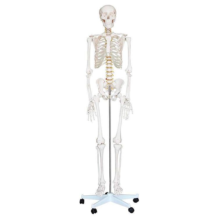 Модел људског костура од 180 цм