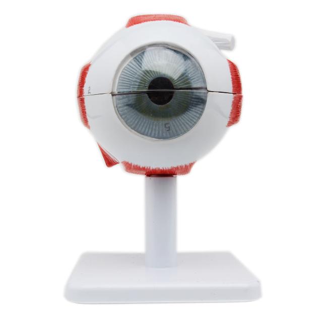 3 Times Human Eye Model