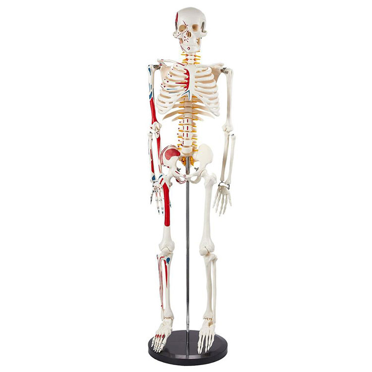 Модел анатомског скелета од 85 цм