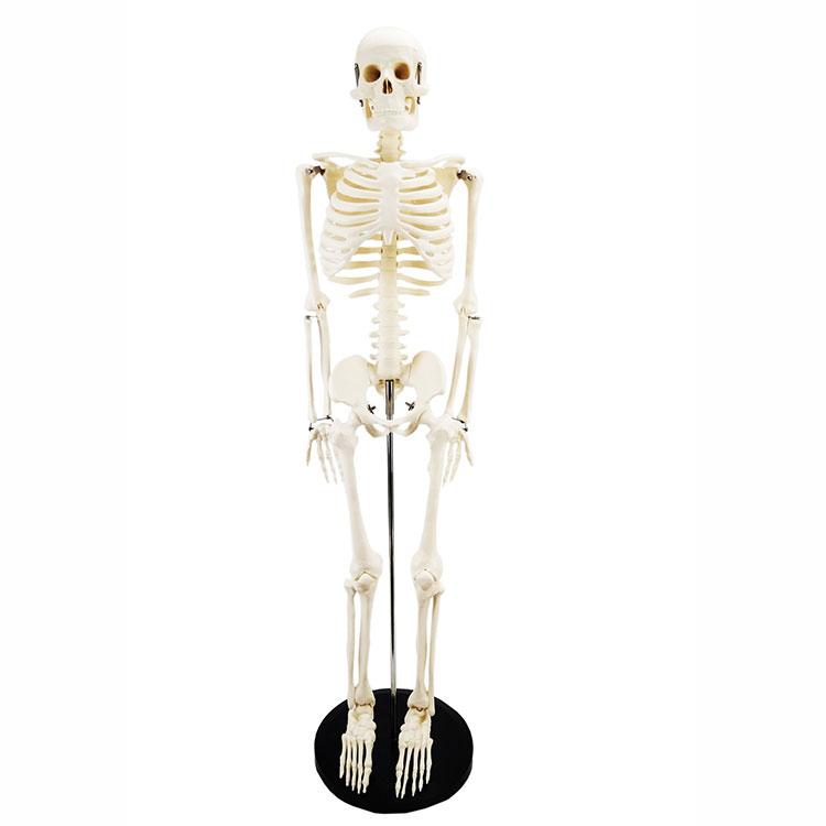 Модел људског костура од 85 цм