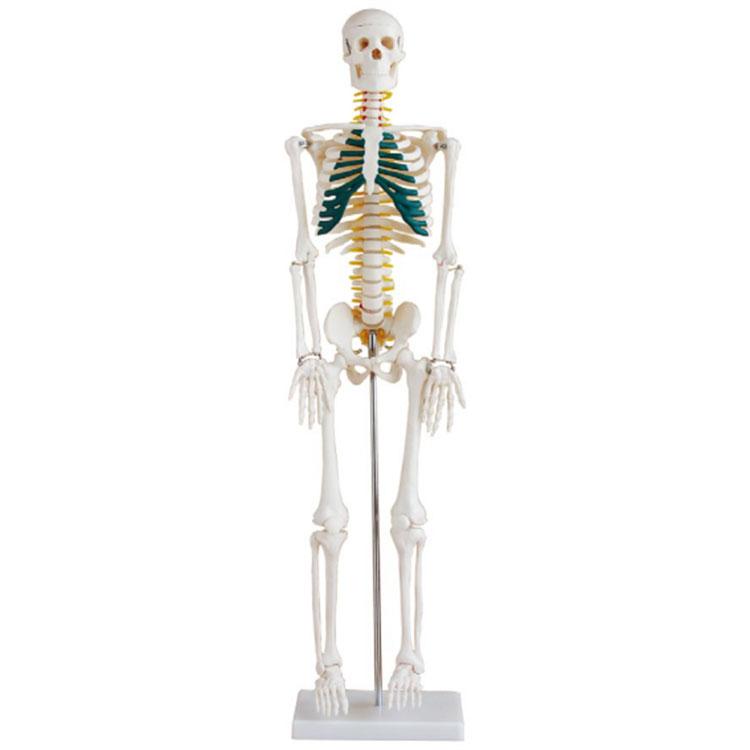 Модел скелета од 85 цм