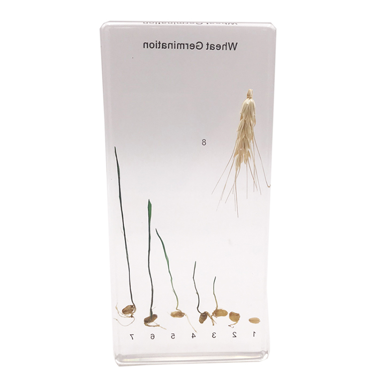 Acrylic Paddy Rice Germination Specimen
