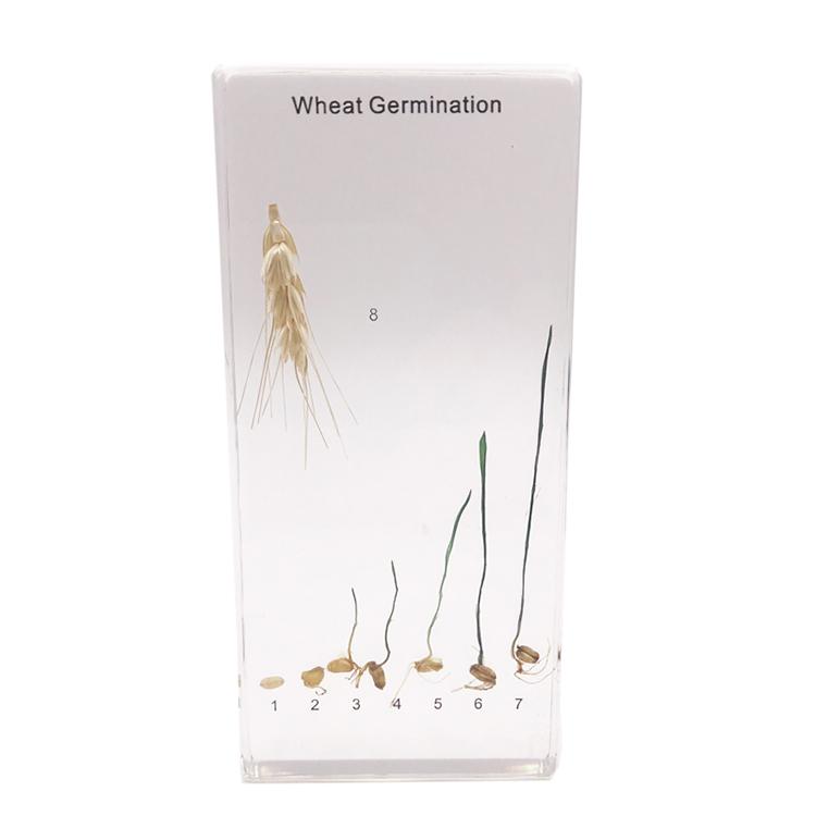 Acrylic Paddy Rice Germination Specimen
