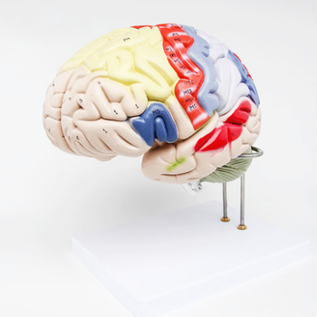 Model Otak Manusia PVC Lanjut