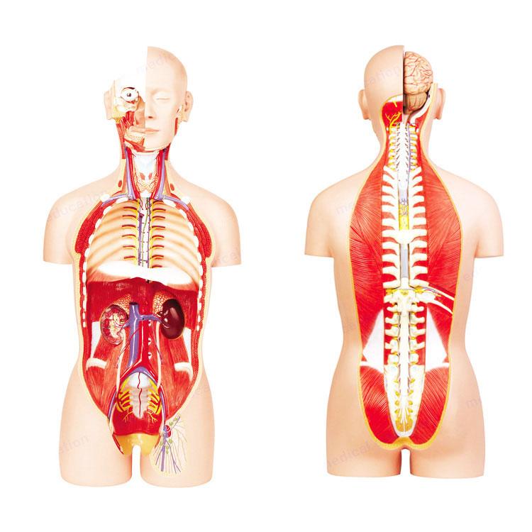 Anatomic Human Torso Models