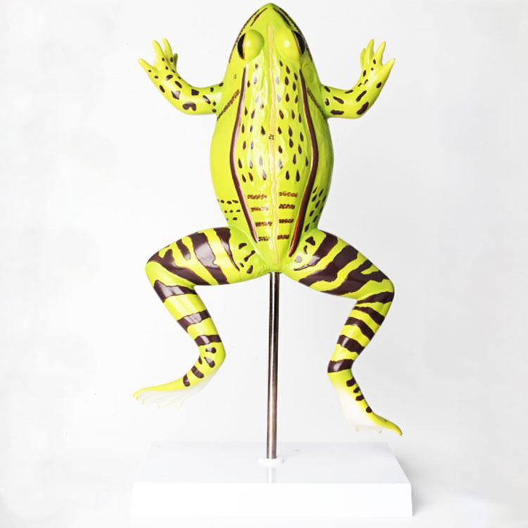 Anatomical Frog Model