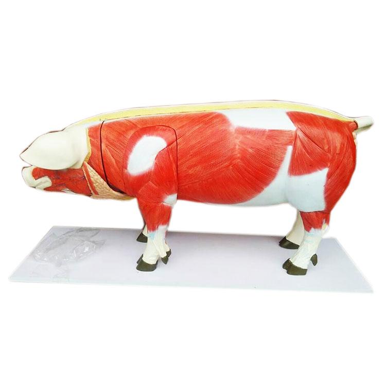 Anatomical Pig Model