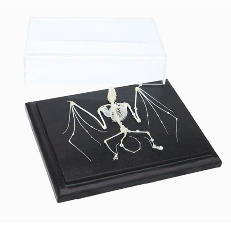 Bat Skeleton Specimen