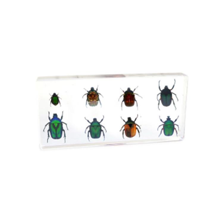 Chafer Beetle Specimen