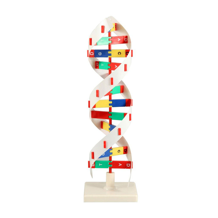 Модел активности ДНК