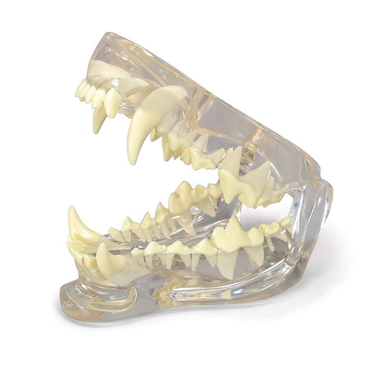 Model Gigi Dental Asu