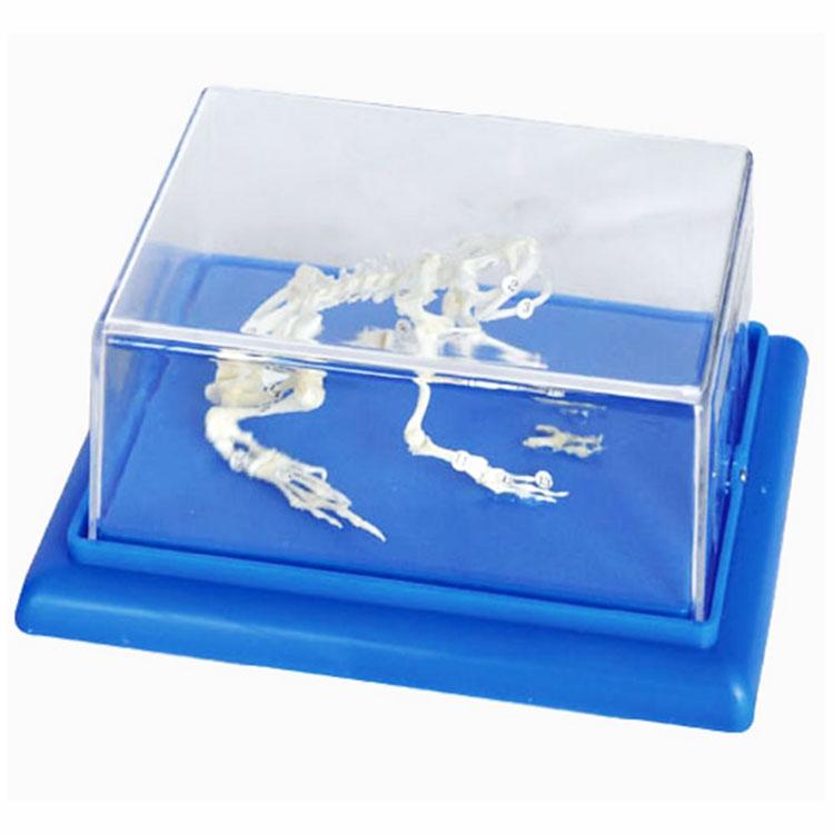 Frog Skeleton Model
