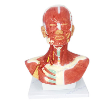 Model muskulatury hlavy a krku