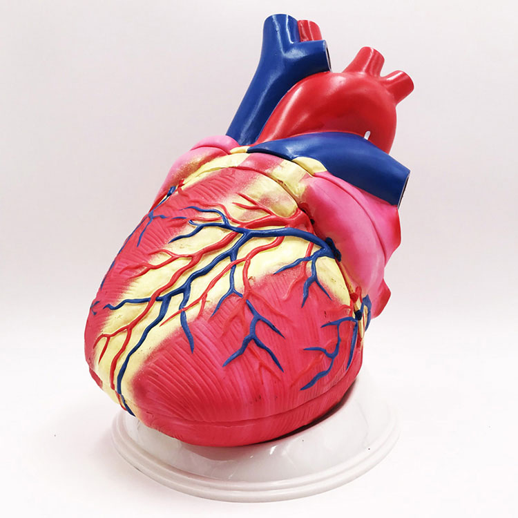 Model Anatomi Jantung