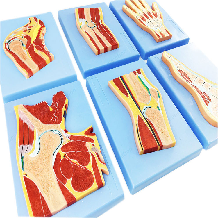 Model Bahagian Kaki Anatomi Manusia