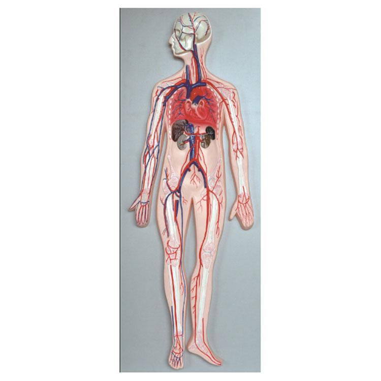 Model Sistem Sirkulasi Darah Manungsa