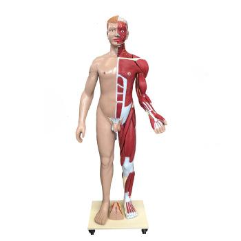 လူ့ခန္ဓာကိုယ်ကြွက်သားမော်ဒယ်