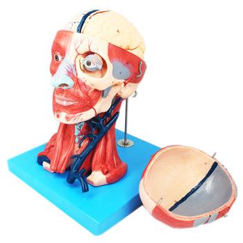 Lidská hlava s modelu svalu