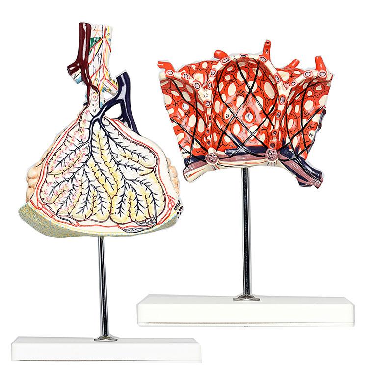Human Lobule And Alveolus Of Lung Model