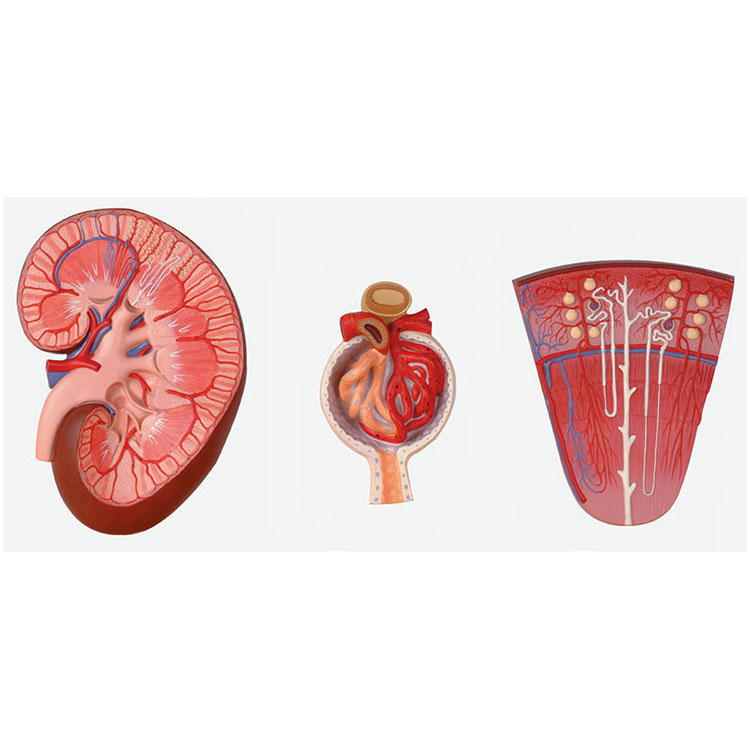 Kidney Section Model