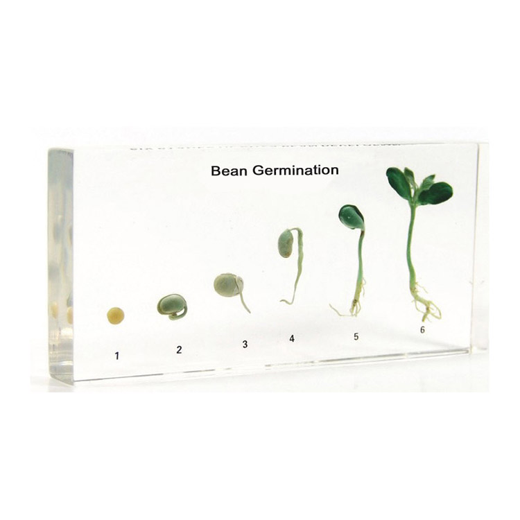 Life Cycle Of Bean Germination Specimen