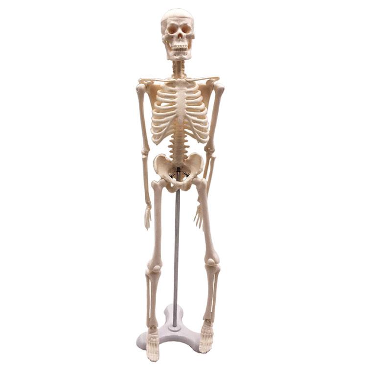 Модел Мини Хуман Скелетон 45цм