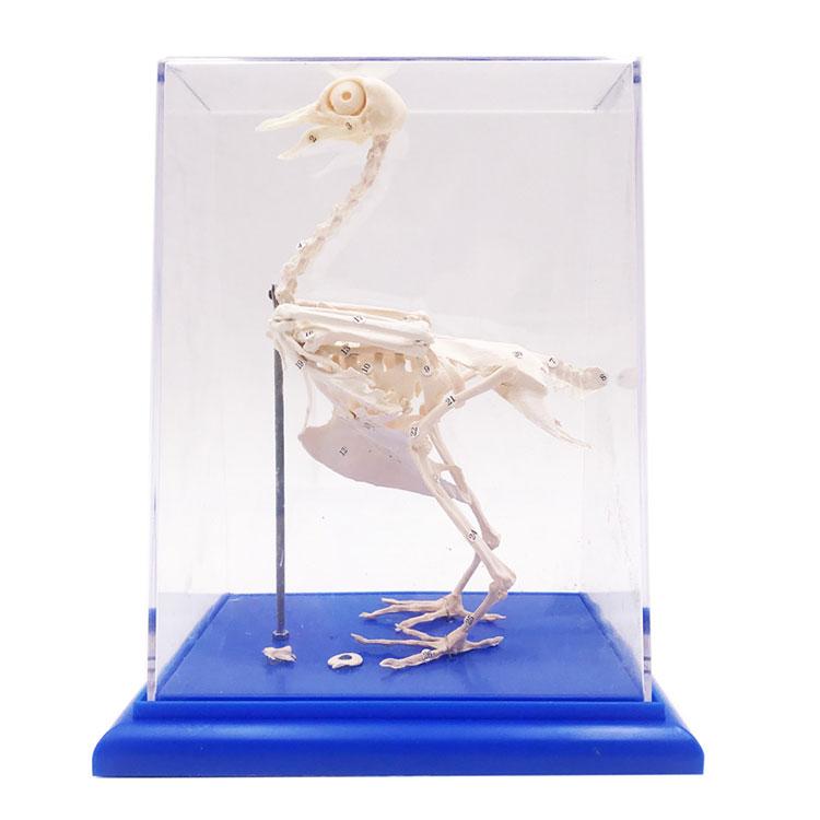 Pigeon Skeleton Model