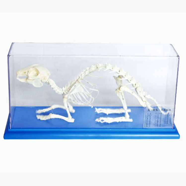 Rabbit Skeleton Model