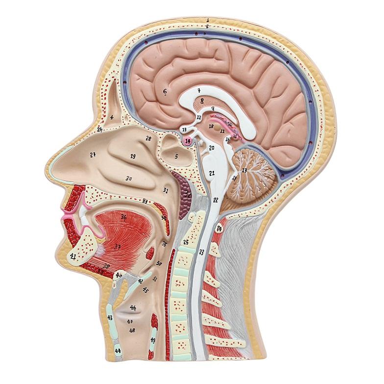 Sekce modelu lidské hlavy