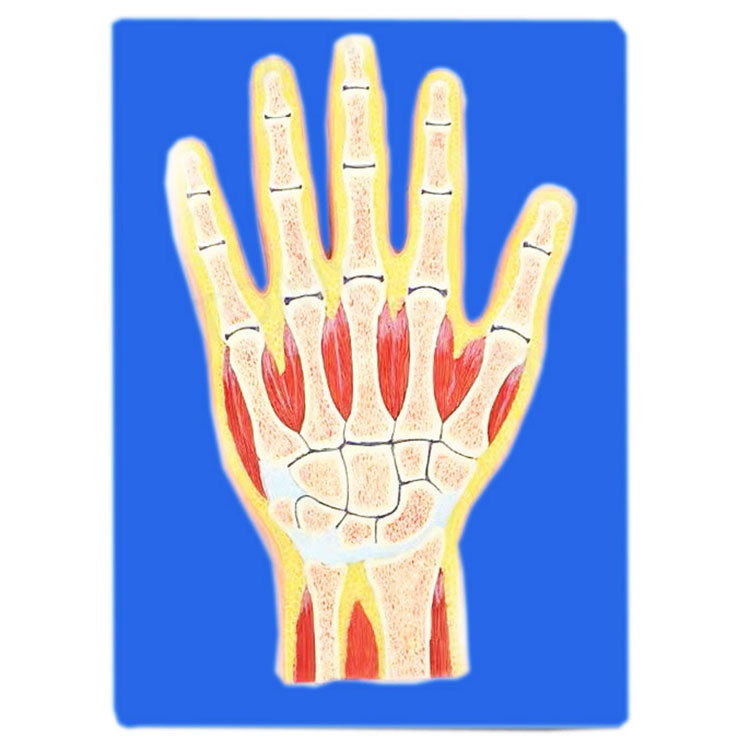 Bahagian Melalui Model Tulang Tangan