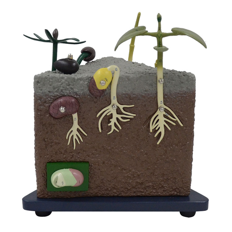 Seed Germination Model