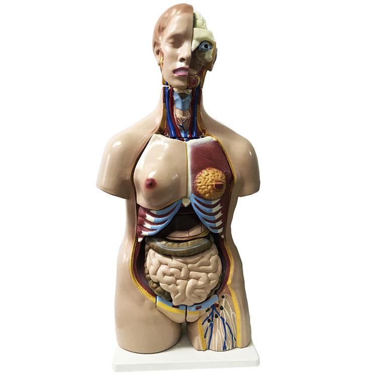 Model Torso Anatomi Manungsa Unisex 32 Bagian