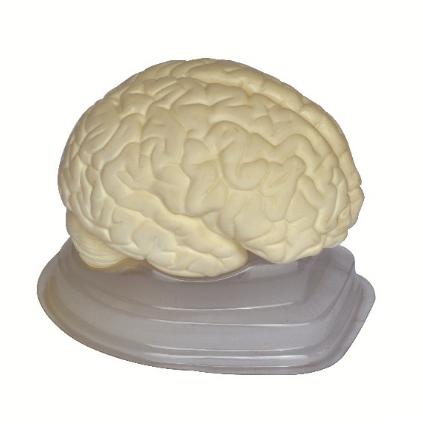 Model Otak Putih