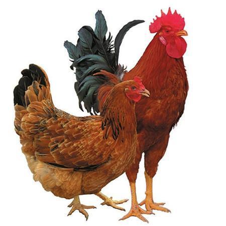 Hladno je, vzreditelj piščancev, to bi moral storiti