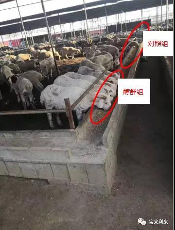 Multifunctional biological feed -- Jiao Xian