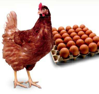 Feed Additives For Poultry Production Performance